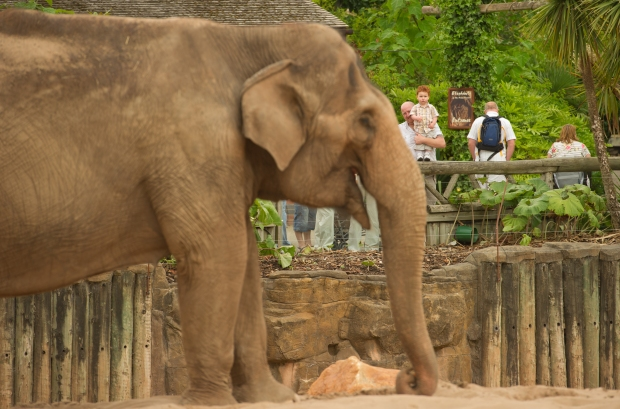 One of the elephants at Chester Zoo Photo courtesy of Chester Zoo